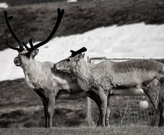 Reindeer at Sólbakki